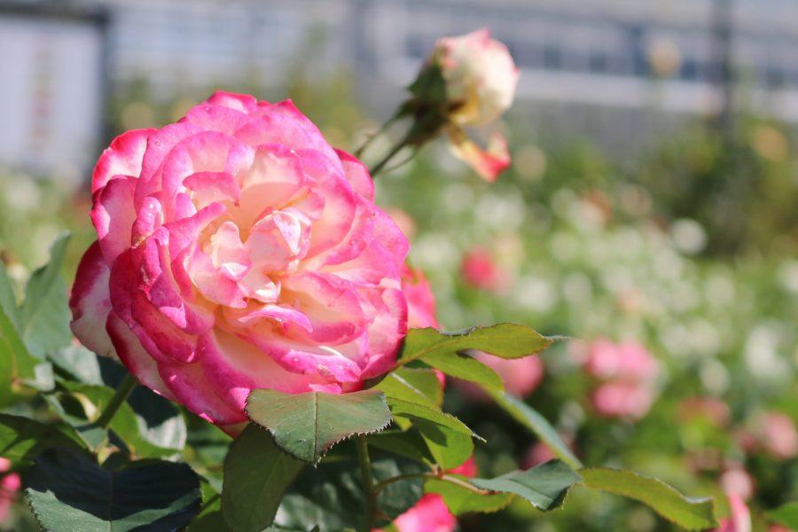 たくさんのバラを見るなら今!『島田市ばらの丘公園』