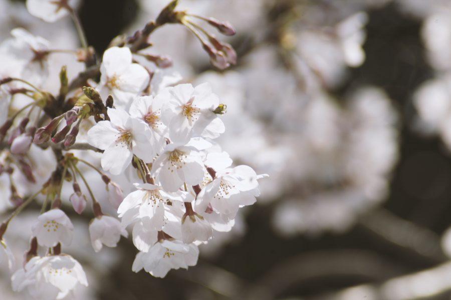 大井川の春を撮る その2ー家山の桜トンネル