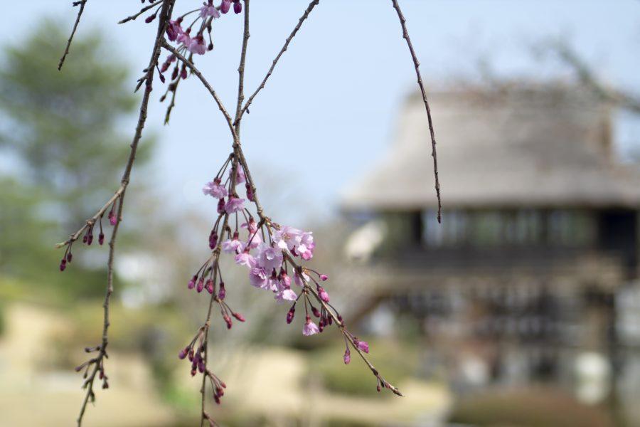 大井川の春を撮る その4-1ーふじのくに茶の都ミュージアム