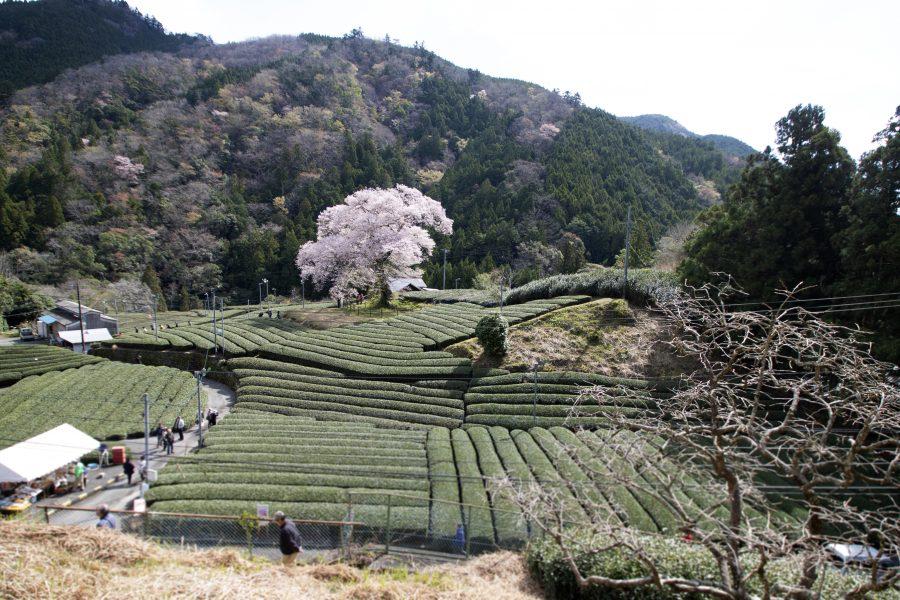 大井川の春を撮る その1ー牛代のみずめ桜